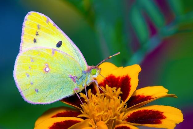 黄色の蝶コリア、緑の野の花を食べて
