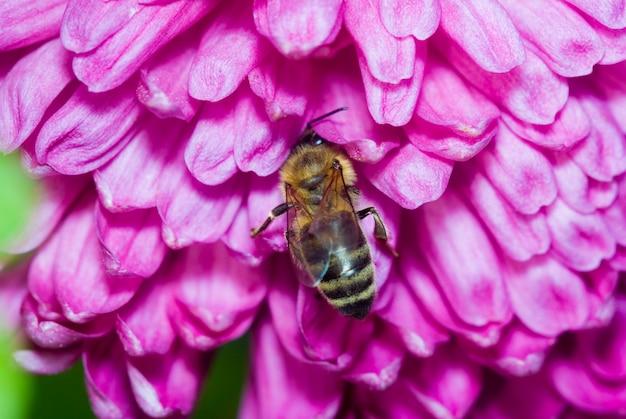 蜂は美しいピンクの花に花粉を集める