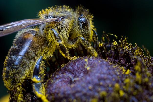 Медоносная пчела собирает пыльцу на цветке