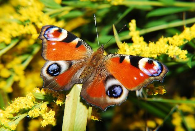 自然の中で蝶、マクロを閉じる