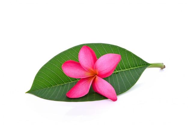 Красный цветок плюмерия на зеленом листе