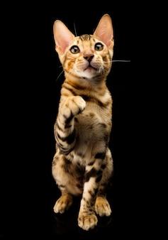黒の若いベンガル純血種の猫の肖像画。