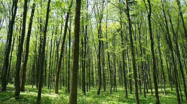 森の木。自然の緑の木