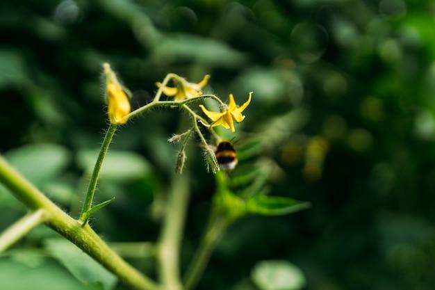 Опыление шмеля делает цветок куста, посаженного в оранжерее помидора