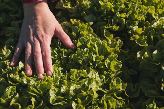 フィールドでレタスに触れる女性の手