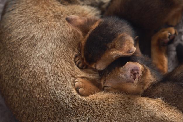 Два маленьких котенка сосут молоко у кошачьей мамы