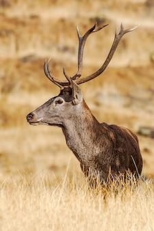 Крупный план самца оленя
