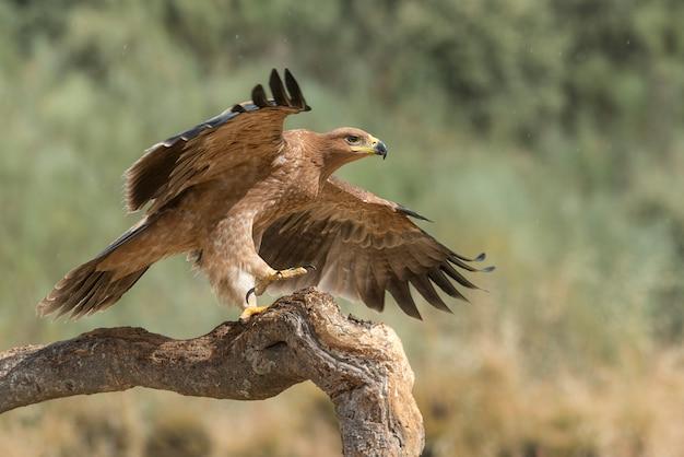 翼が開いているまたは飛行中の枝にイベリアイーグル