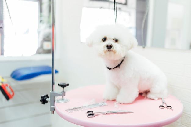 Красивая белая собака ждет парикмахера