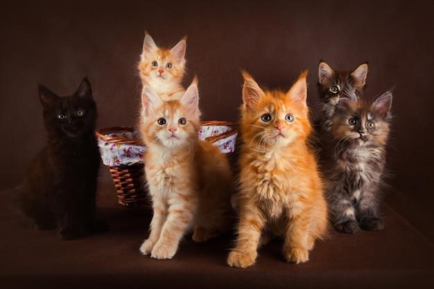 Группа пушистых красивых котят мейн кун разных окрасов
