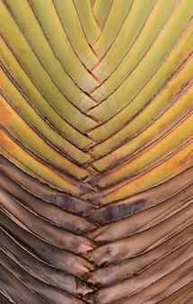 Пальмовые листья, узор птиоле пальмы путешественника