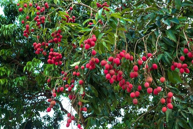 Спелые плоды личи на дереве. тропический фрукт