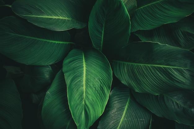 濃い緑のテクスチャと熱帯の葉の大葉