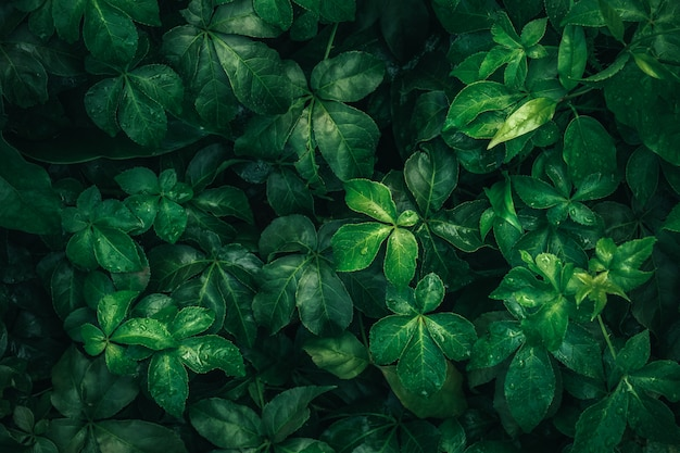 Листва тропических листьев в темно-зеленом цвете с падением дождевой воды на текстуре, абстрактной предпосылке природы картины.