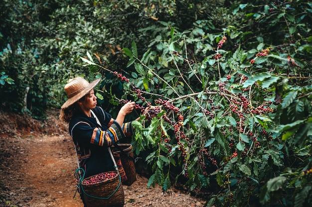 Женщина-фермер урожай арабики вишни кофе в кофейной плантации. пан пхонг хон северная от чианг рай, таиланд.