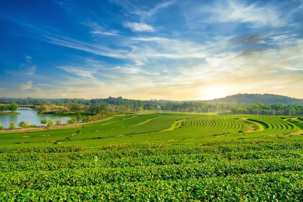 Ландшафт плантации зеленого чая в утре. органическое сельское хозяйство в сельской местности.