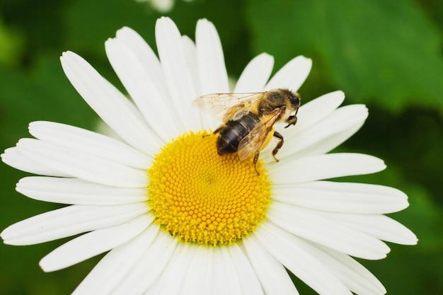 Пчела сидит на ромашке. макро фото. белый цветок. жизнь насекомых