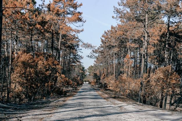 ポルトガルの強烈な火事の後の生命のない領域。地面に薄い灰の焼けた黙示録の森。荒れ地でのポルトガルの災害。燃える木。制御不能の大変動。