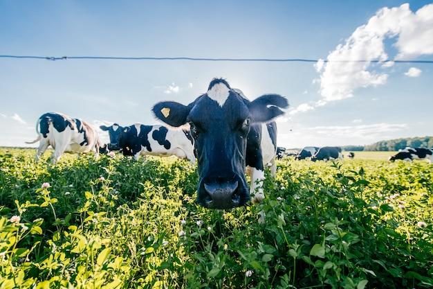 Стадо черно-белых коров в летнее солнечное поле в сельской местности на пастбище