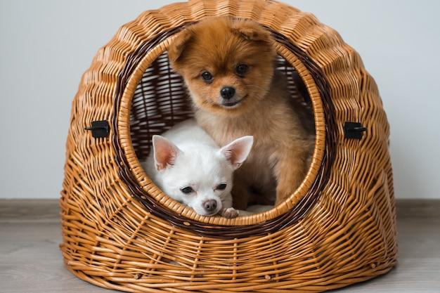 犬の家の外を見てチワワの子犬とポメラニアンの子犬