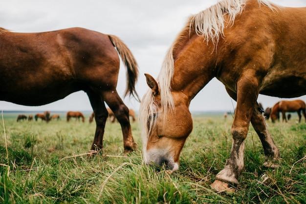 草を食べて牧草地で野生の馬のグループ