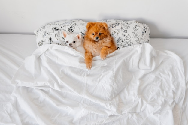 ベッドの毛布の下に横たわっている面白い子犬。