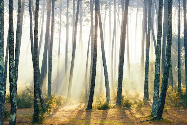 素晴らしいヨーロッパの森。ポルトガルの美しい日の出。おとぎ話の風光明媚なビュー。松の木の壮大な太陽光線。