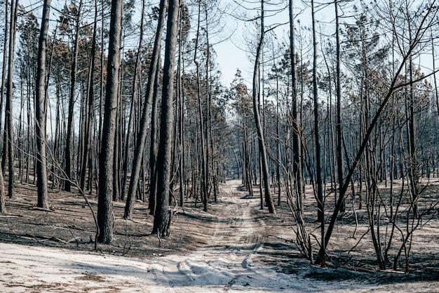 ポルトガルの強烈な火事の後の生命のない領域。地面に薄い灰の焼けた黙示録の森。荒れ地でのポルトガルの災害。燃える木。