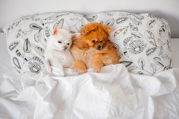 毛布の下の枕の上に一緒に横になっている面白い子犬。