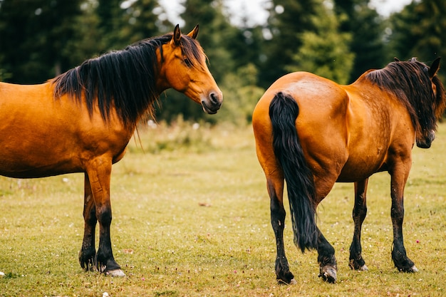 フィールドに放牧茶色の馬。