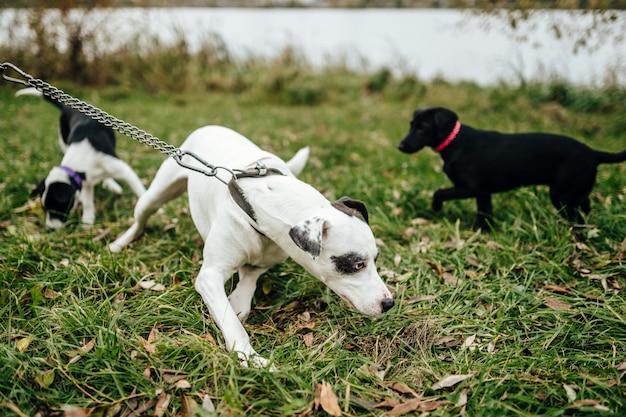 自然で緑の草に夏に屋外で遊んで幸せな子犬。黒と白の素敵なうれしそうな親切な犬は楽しい時を過します。面白いペットの活動。