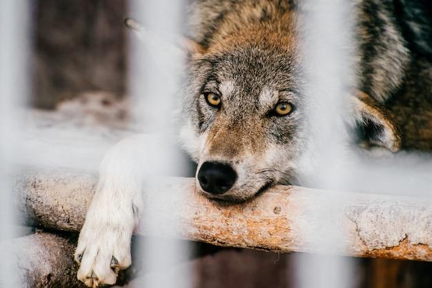 Дикий волк отдыхает в клетке