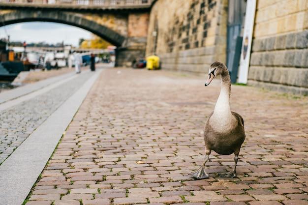 ガチョウのリーダー面白い肖像画。プラハの川の海岸を歩く白鳥。