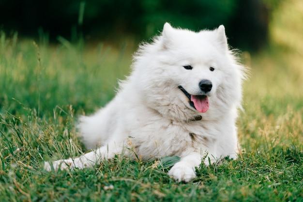 Прелестный белый пушистый щенок самоеда, лежащий на траве