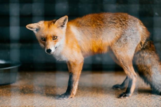 動物園で飼育下で貧しい若い赤ヨーロッパキツネ赤ちゃん。