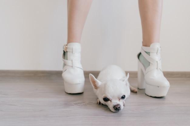 Вспугнутый маленький щенок чихуахуа сидя и лежа на деревянном поле между женскими ногами. женские ножки на высоких каблуках в разных носках. странные причудливые кудрявые голые ножки в эксцентричных туфлях. владелец сексуального питомца