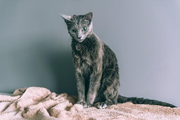 灰色の背景の上に座ってお風呂の後面白いぬれた毛皮で覆われたかわいい子猫を洗った