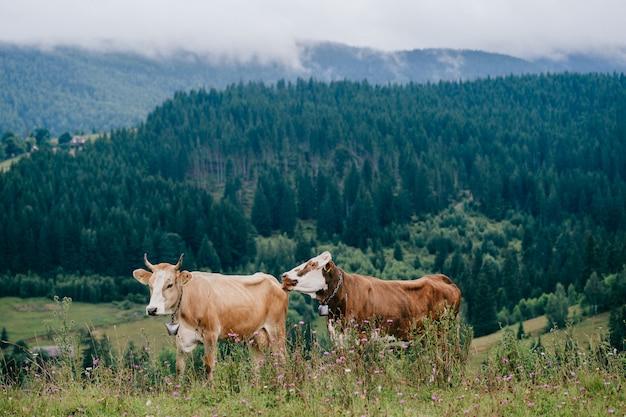 Две забавные пятнистые коровы играют на пастбище в горах