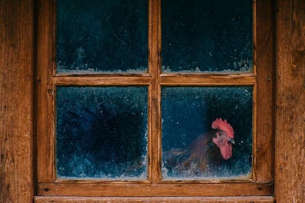 汚れた窓から見るオンドリ。