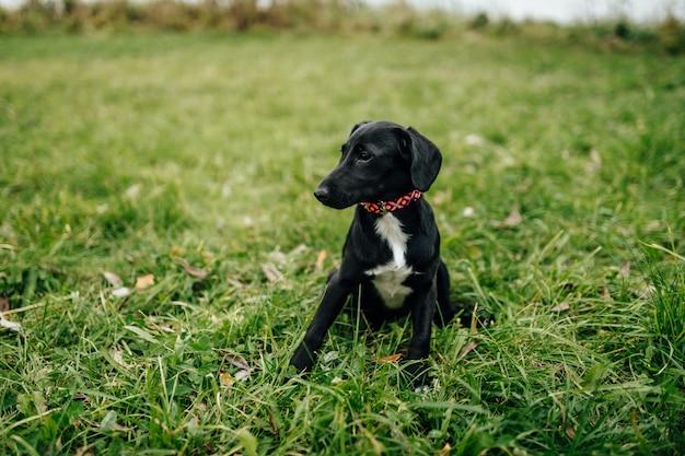 Маленький черный белый щенок, сидя на траве.