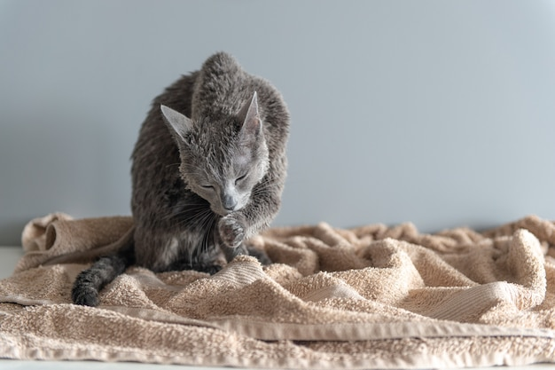 Только что помытый котенок лижет себя