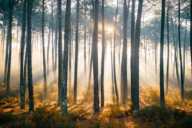 木々の間から差し込む太陽光線の素晴らしい、カラフルな霧の森。