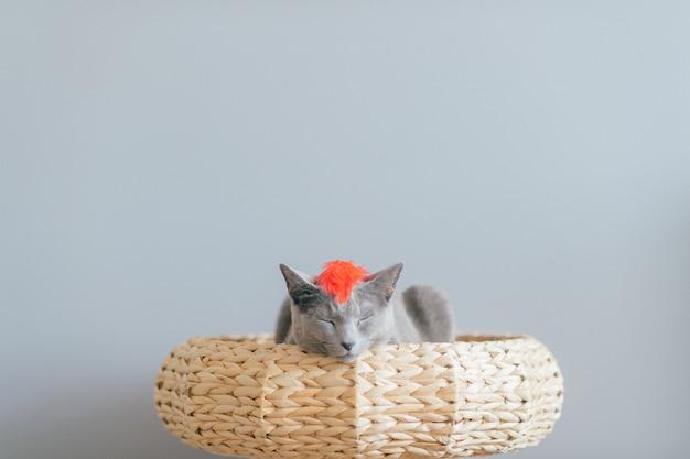 Симпатичный серый котенок лежа в соломенной кровати.