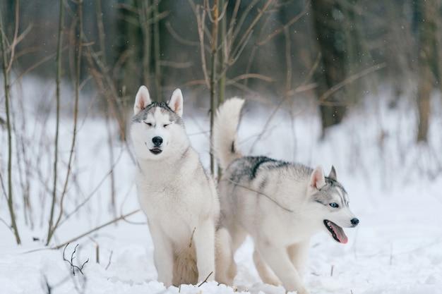 冬のシベリアンハスキーカップル