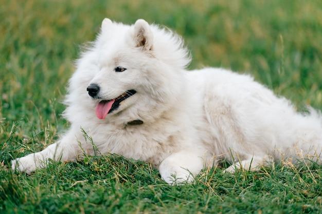 Очаровательный удивительный белый пушистый счастливый щенок самоеда, лежащий на траве на открытом воздухе на природе летом