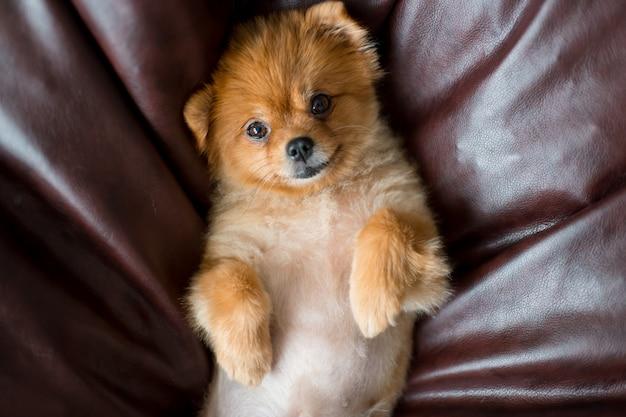 ベッドの上で背中に横たわって、カメラ目線の愛らしい、素敵なポメラニアン子犬