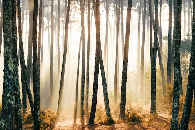 素晴らしいヨーロッパの森。自然の美しい日の出。おとぎ話の風光明媚なビュー。松の木の壮大な太陽光線。