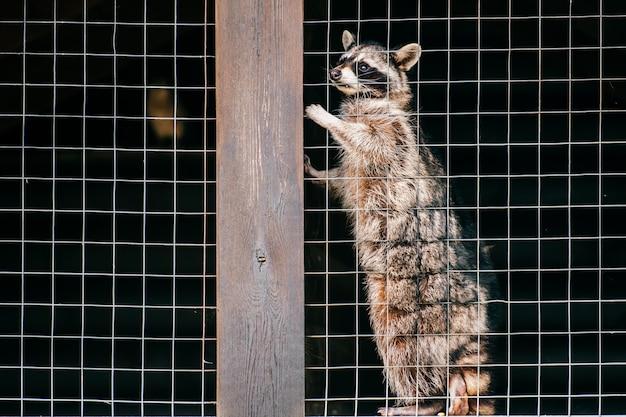 動物園で苦しんでおり、ケージから脱出しようとするかわいそうなアライグマ。