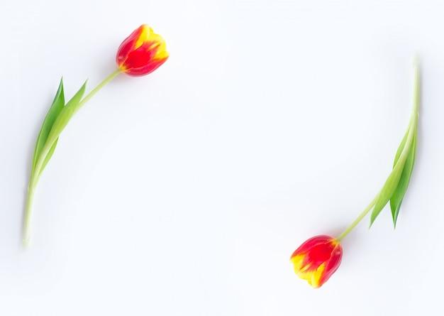 Тюльпаны желто-красные на белом фоне