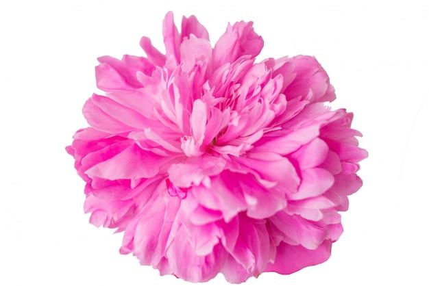 Цветок пиона крупным планом